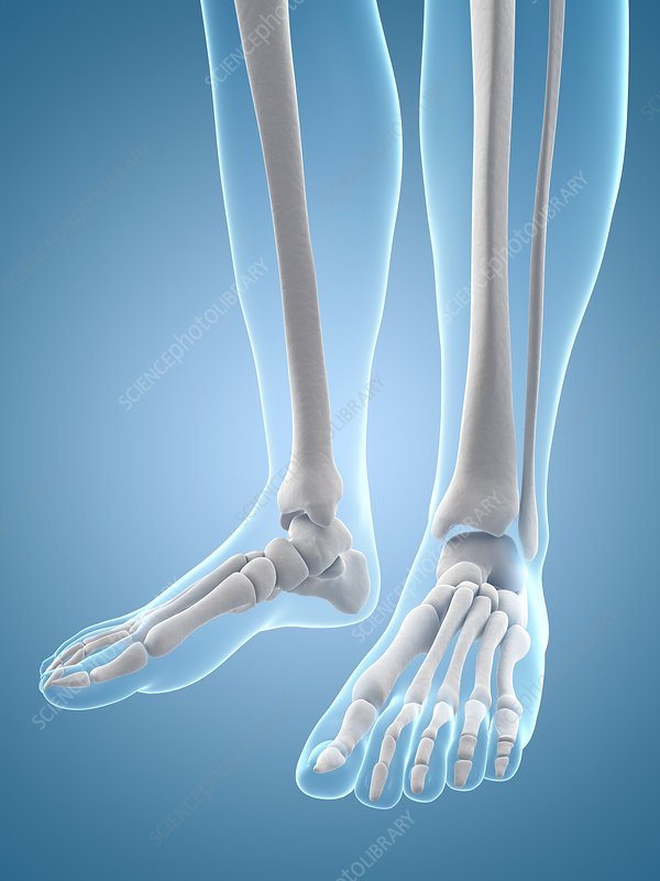 Human feet bones, Illustration