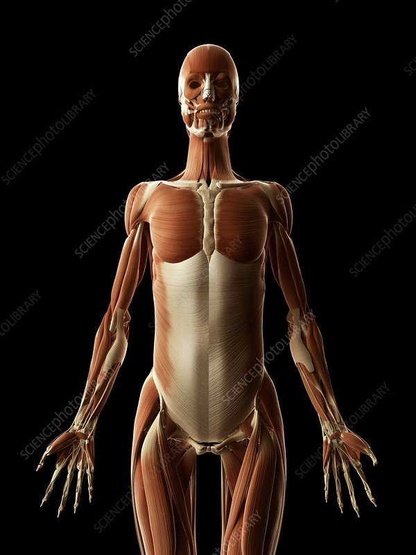 Human muscular system, Illustration
