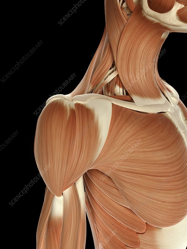 Human shoulder muscles, Illustration