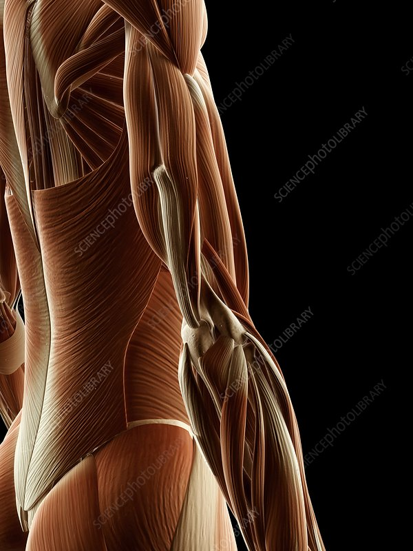 Human arm muscles, Illustration