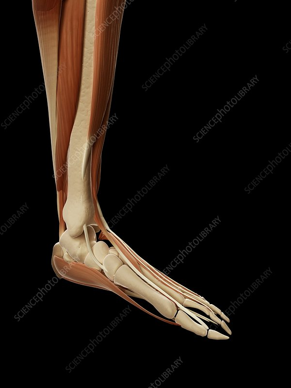 Human foot muscles, Illustration