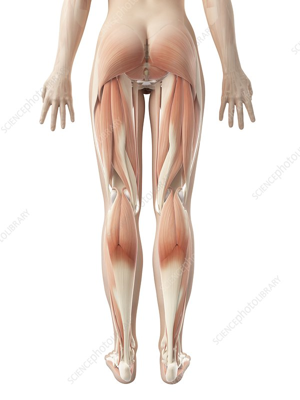 Muscular system of the legs, Illustration