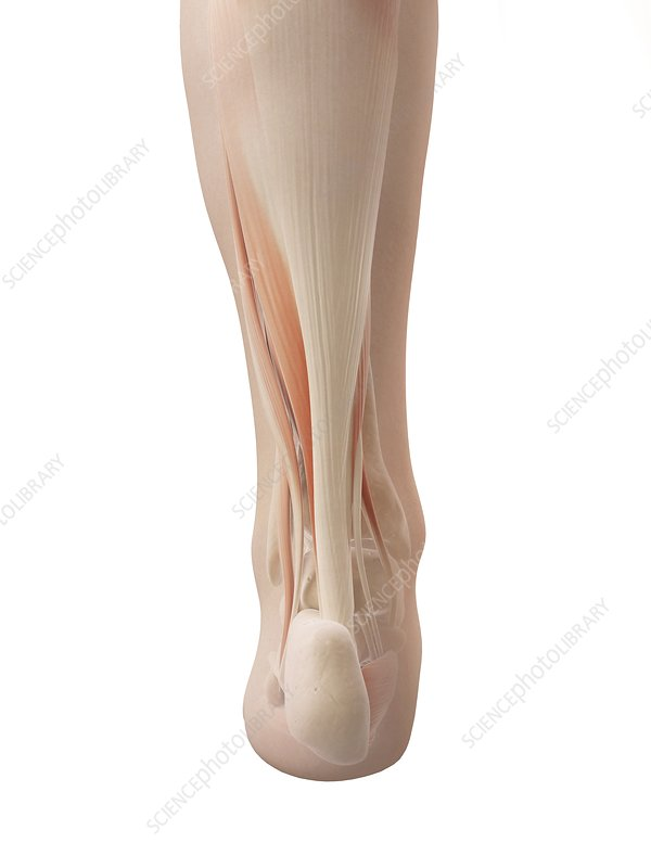 Human lower leg muscles, Illustration