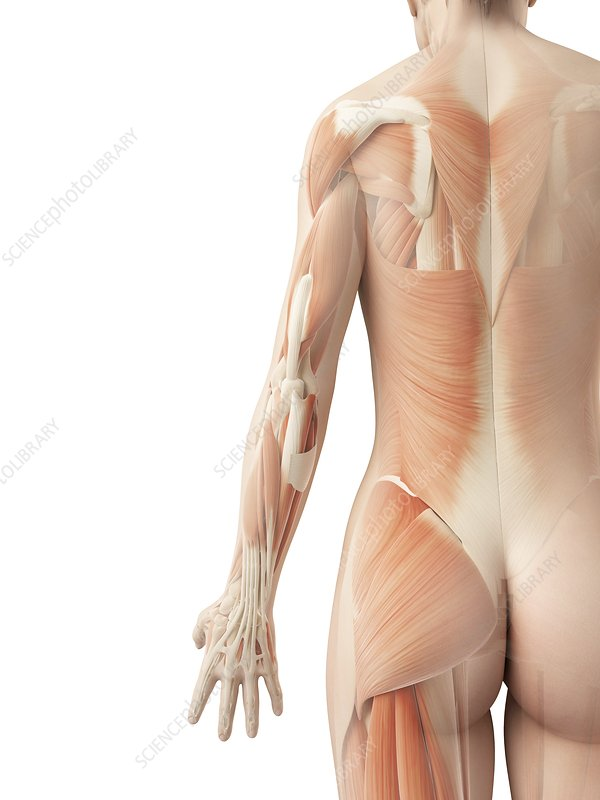 Female muscular system, Illustration