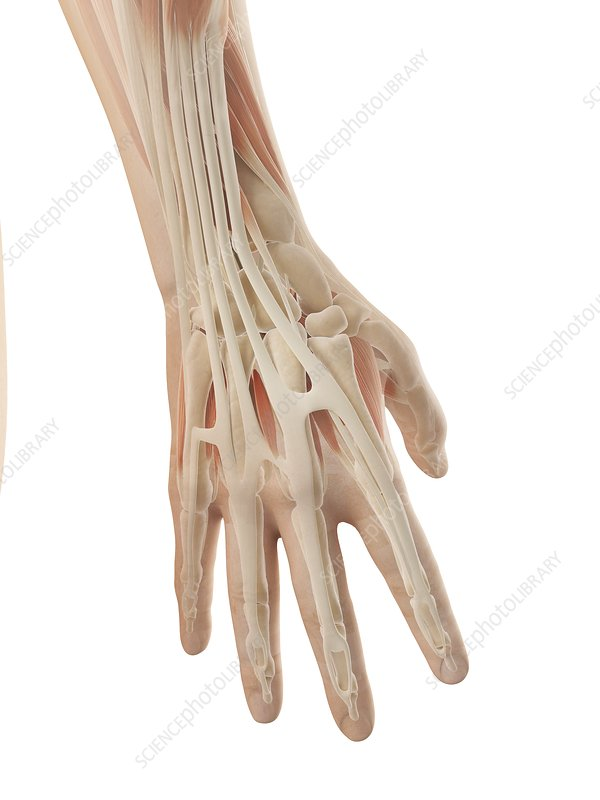 Human hand muscles, Illustration
