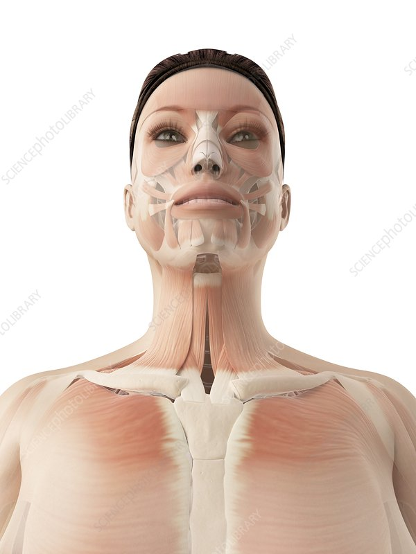 Facial and neck muscles, Illustration