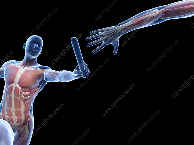 Muscular system of a runner, Illustration
