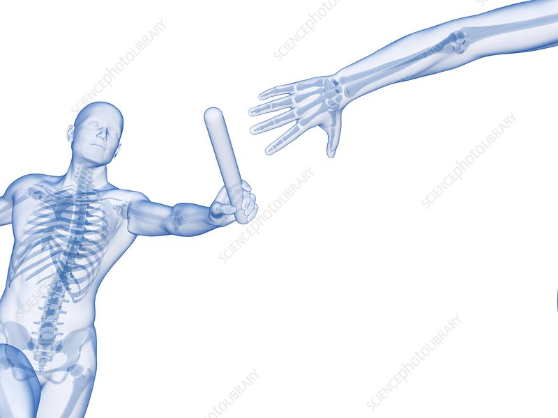 Skeletal system of a runner, Illustration