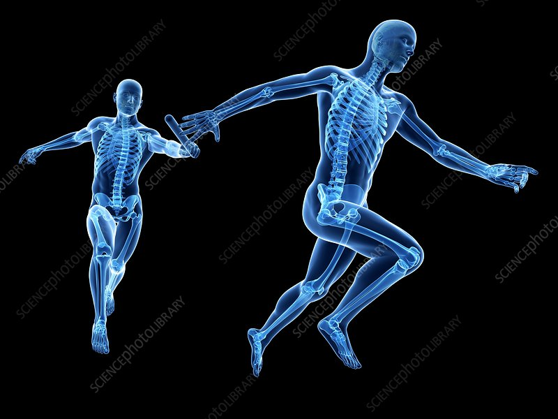 Skeletal system of runners, Illustration