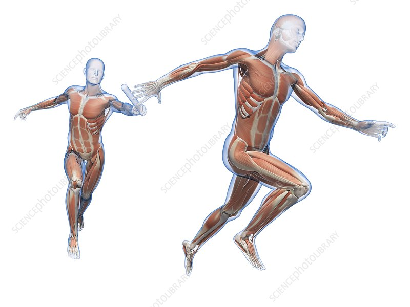Muscular system of runners, Illustration