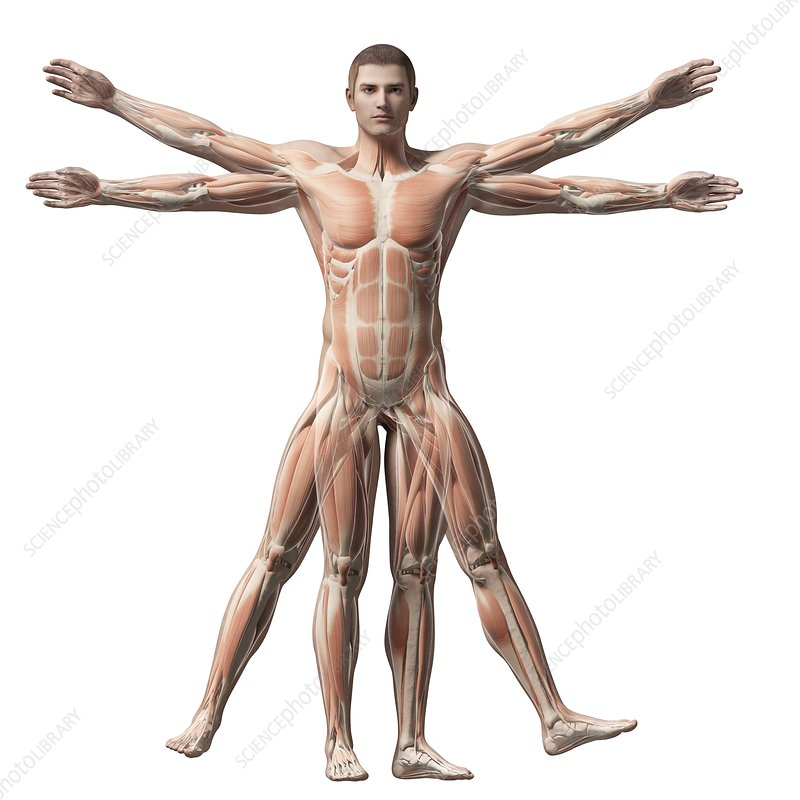 Vitruvian man muscles, Illustration