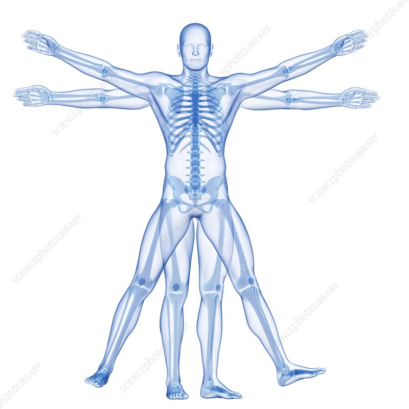 Vitruvian man skeleton, Illustration