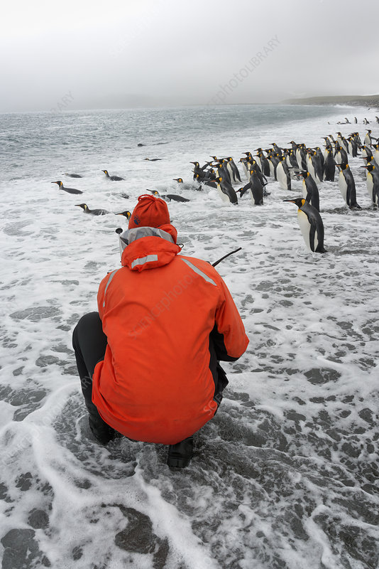 Person taking pictures of King Penguins