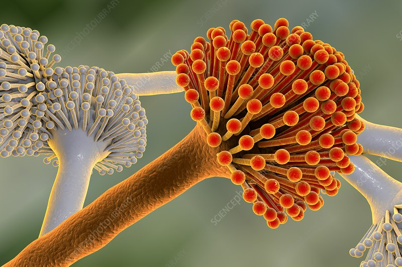 Aspergillus, illustration