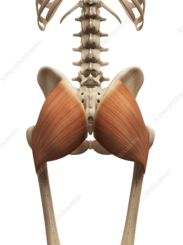 Human buttock muscles, illustration