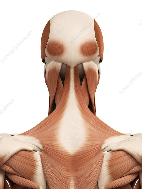 Human head and neck muscles, illustration