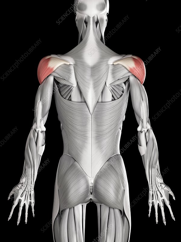 Shoulder muscles, illustration