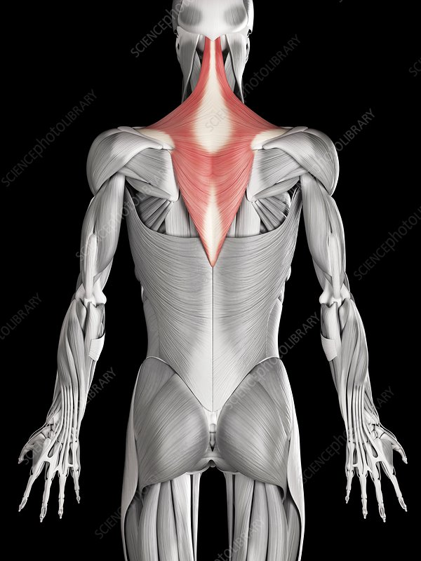 Human back and neck muscles, illustration