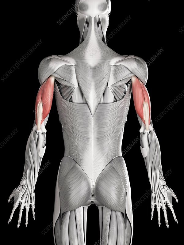 Arm muscles, illustration