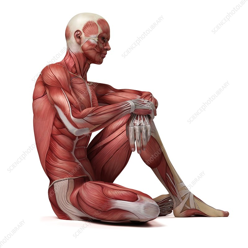 Male muscular system, illustration