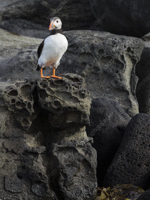Atlantic Puffin on rocks of Akurey island