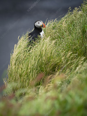 A puffin on the cliffs of Dyrholaey