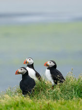 Three puffin birds in the grass