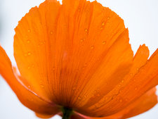An orange poppy flower petals