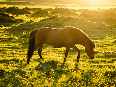 A wild horse grazing in midsummer night