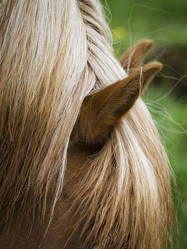 The groomed mane of an Icelandic horse