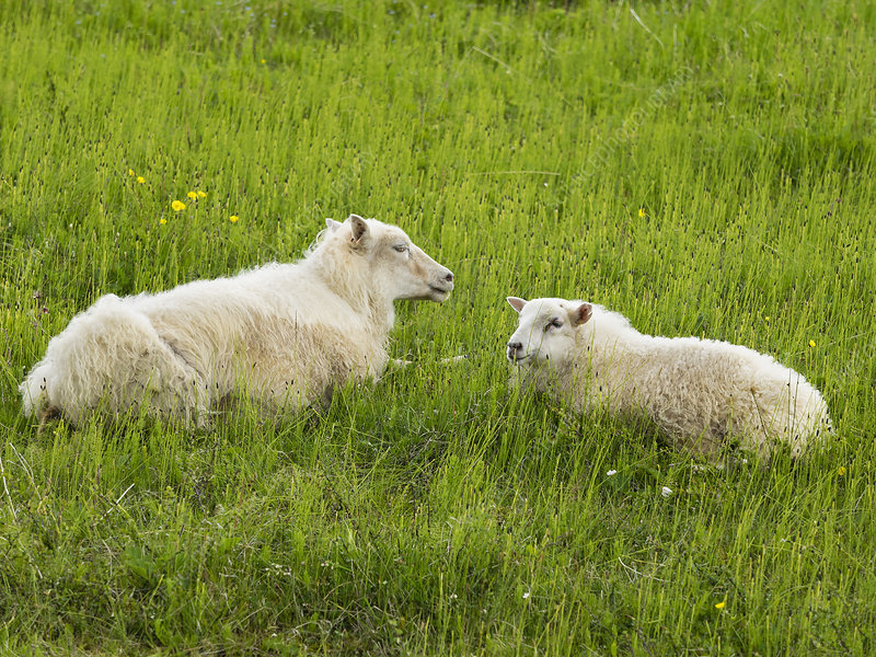 Two sheep with thick fleeces