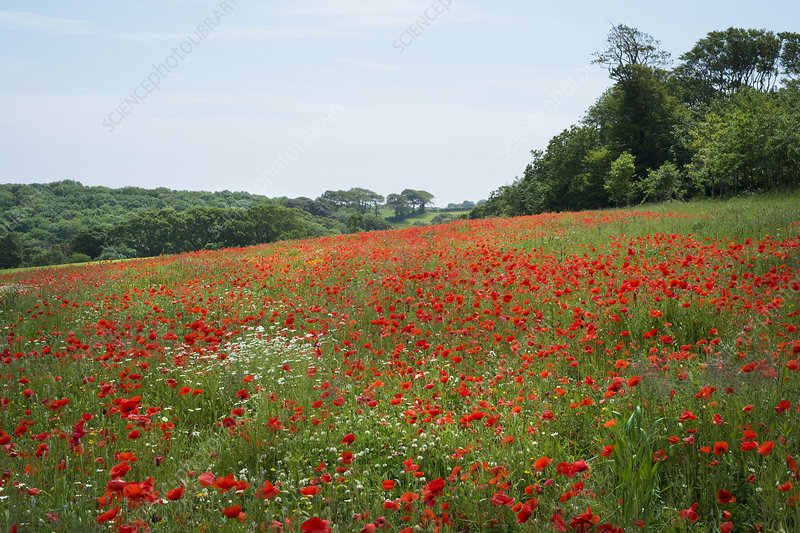 A field of red poppies flowering