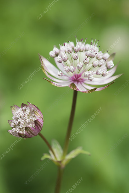 An astrantia flowering plant