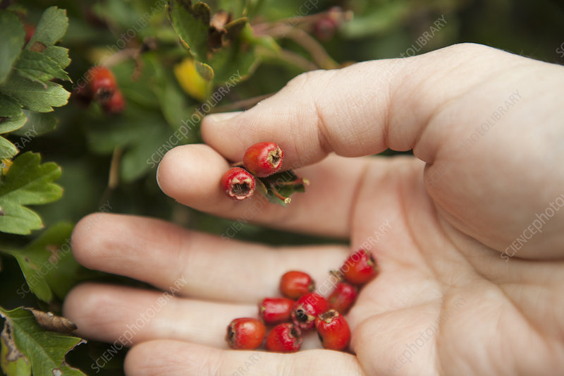 forager's hand picking Hawthorn berries