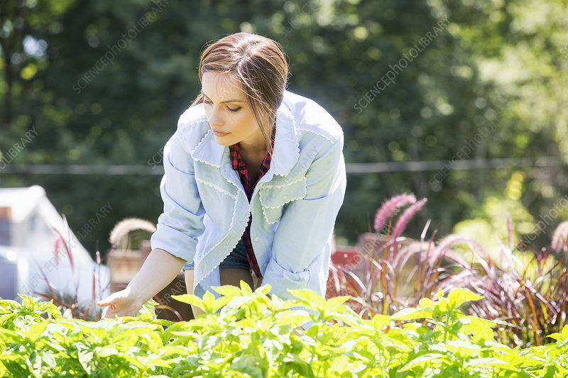 Woman tending young perennial plants