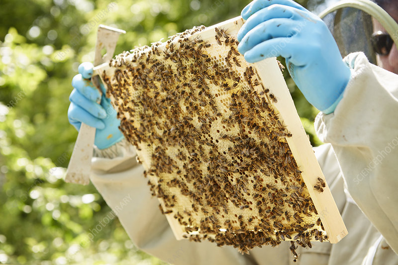 A beekeeper holding beehive frame