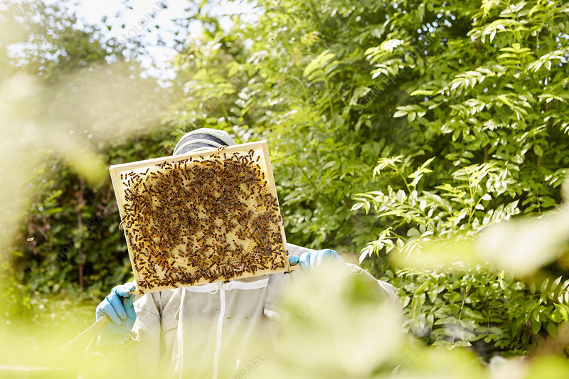 A beekeeper checking a honeycomb frame