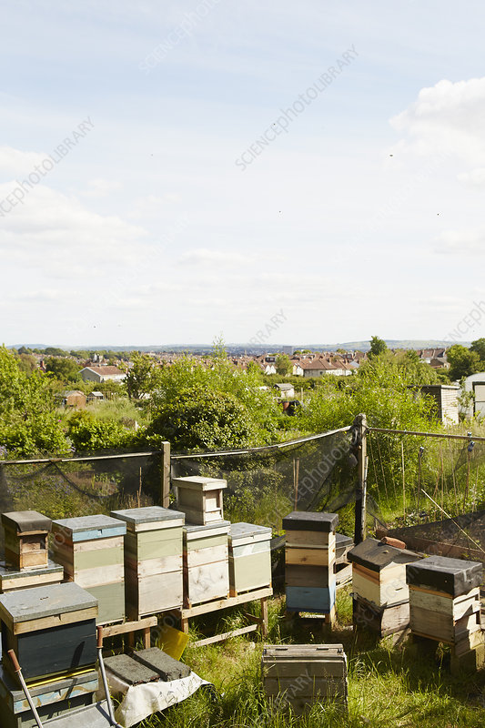 Beehives in allotment in a city