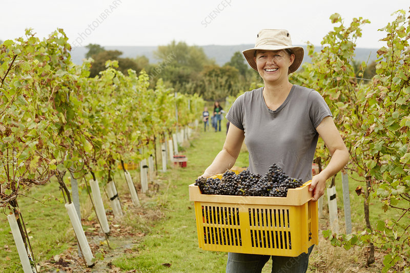 A grape picker with a crate of grapes