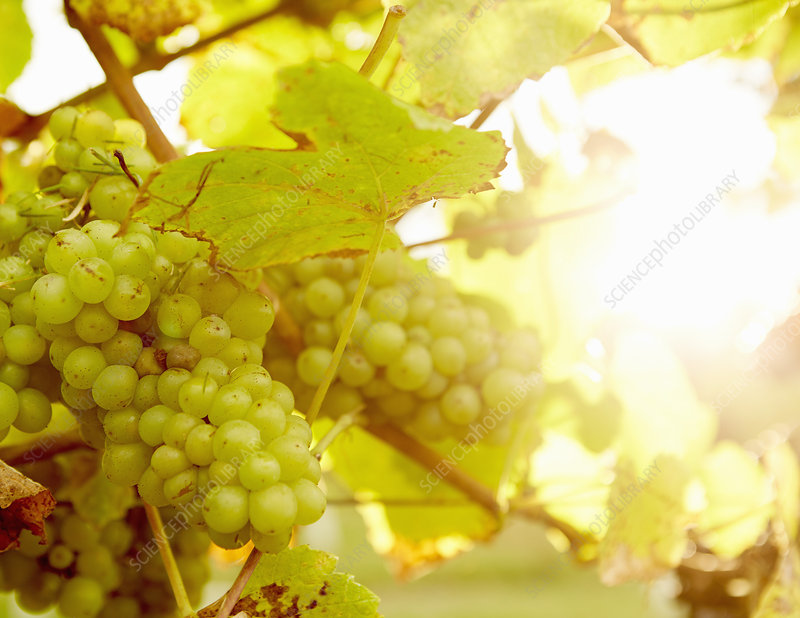 Green grapes on the grape vine