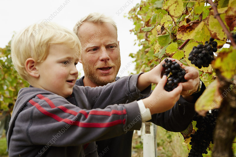 A man and his son picking grapes