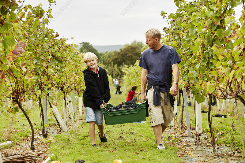A man and son carrying crate of grapes