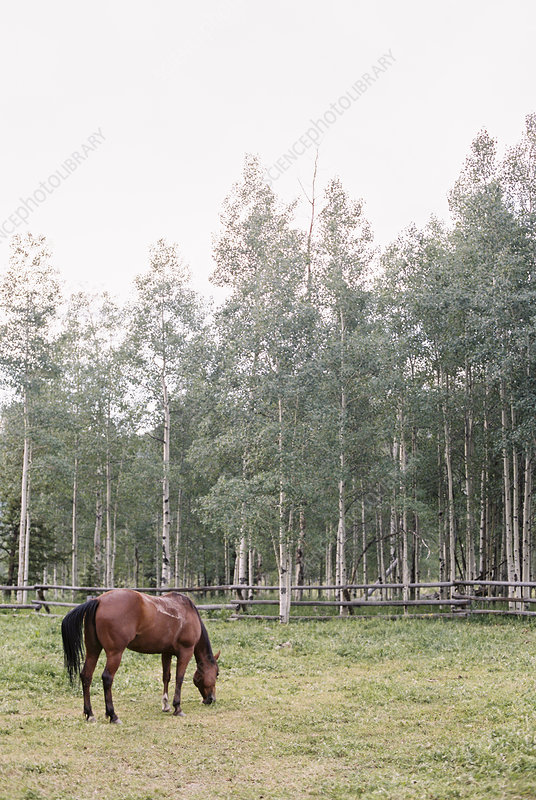 Brown horse grazing in a paddock