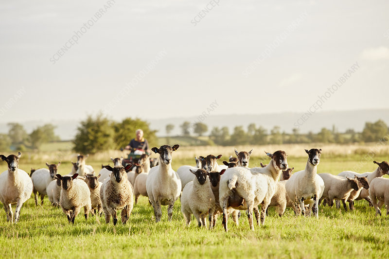 A flock of sheep and man on quadbike