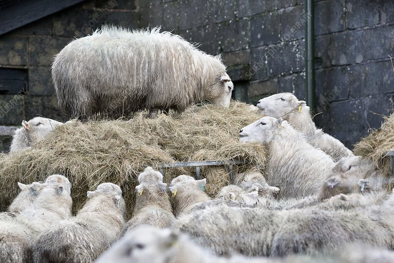 Sheep feeding on hay in winter