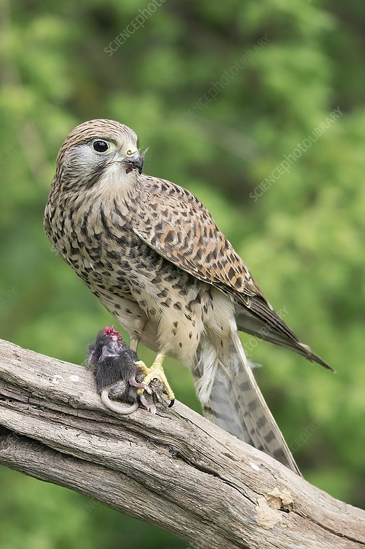 Kestrel feeding on a mouse