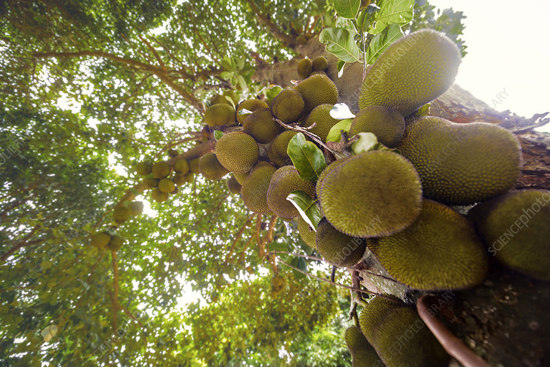 Jackfruit tree with fruit growing