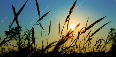Grasses in field at sunset