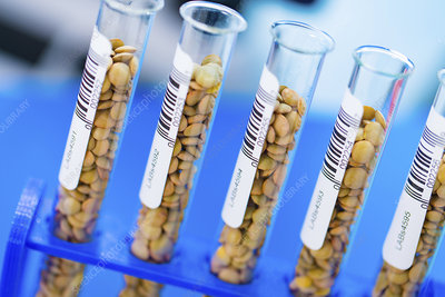 Lentil samples in test tubes