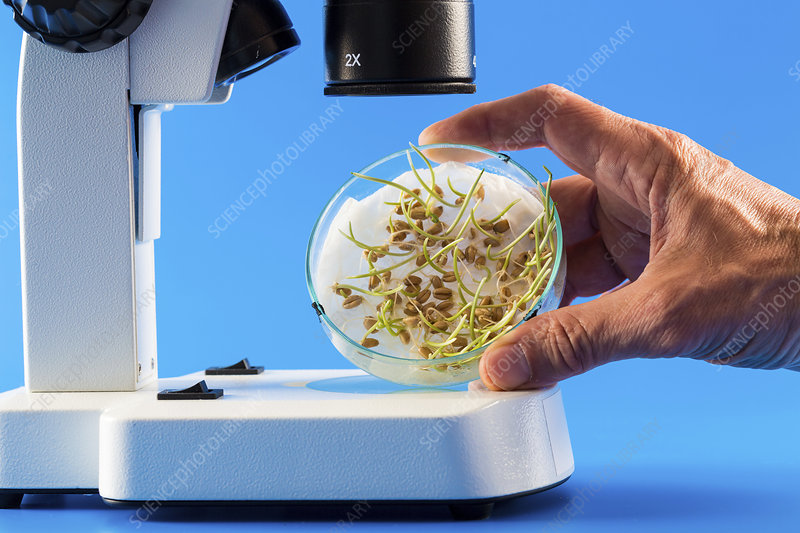 Seeds in petri dish